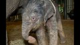 Meet baby elephant Tilly