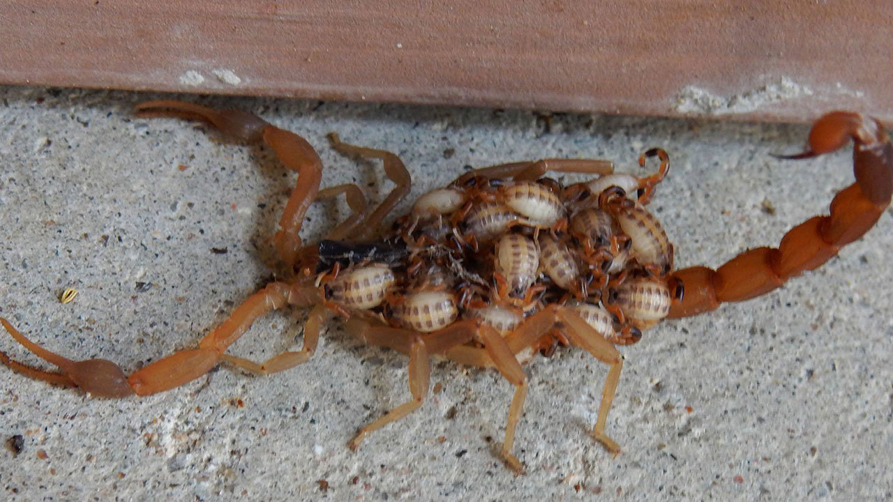 Terrifying Photo Surfaces Of Mama Scorpion With Babies On
