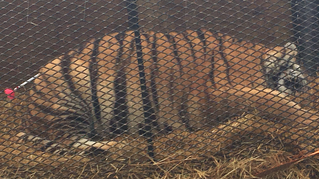 UPDATE: Tipster smoking pot finds tiger in abandoned house, police say