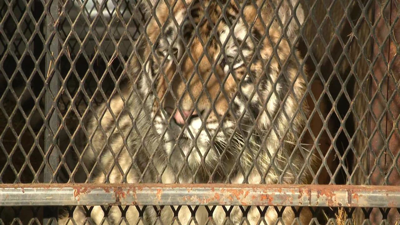 Image result for Tiger owner charged for leaving wild cat cages at vacant Houston house