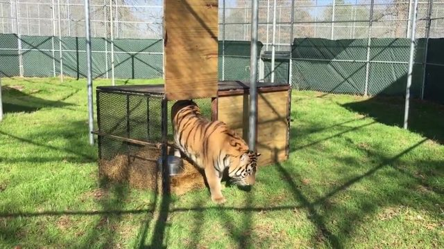 Tiger found abandoned in Houston home gets new name