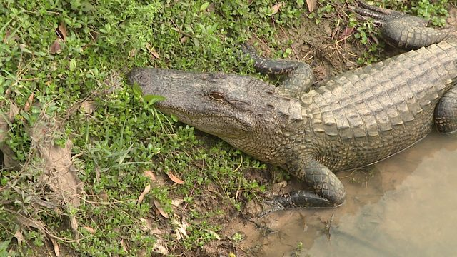 19 alligator incidents in the Houston area you might remember