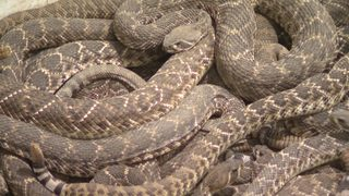 Rattlesnake Roundup, steeped with tradition, draws thousands to Texas&hellip&#x3b;