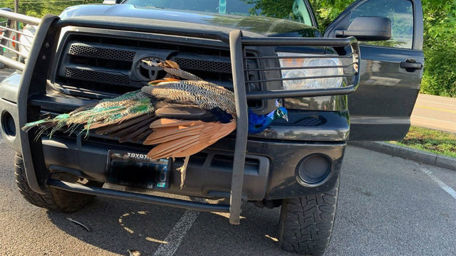 Peacock walks away uninjured after getting stuck in vehicle's grill