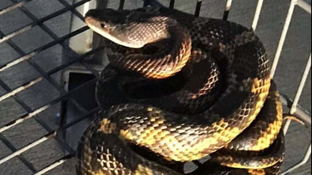 Walmart employee's screams lead police to this critter coiled in a shopping cart