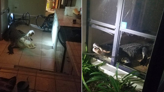 Alligator home invasion: Police, trapper remove 11-foot gator from kitchen