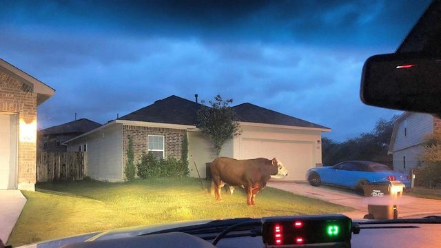 Welcome to Texas: Deputy's dash camera shows burly bull making itself…