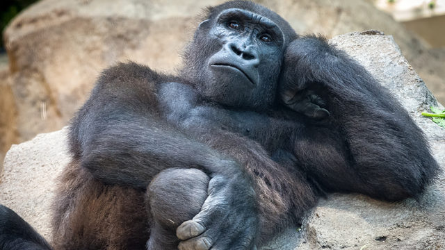 Welcome to the jungle! Houston Zoo welcomes 3 new male gorillas