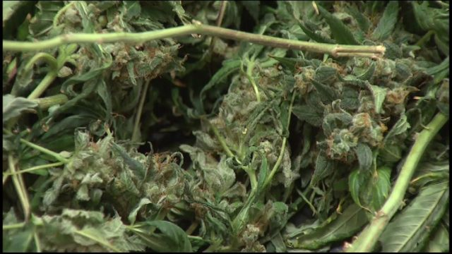 Some Harris County marijuana cases won't be prosecuted due to new Texas…
