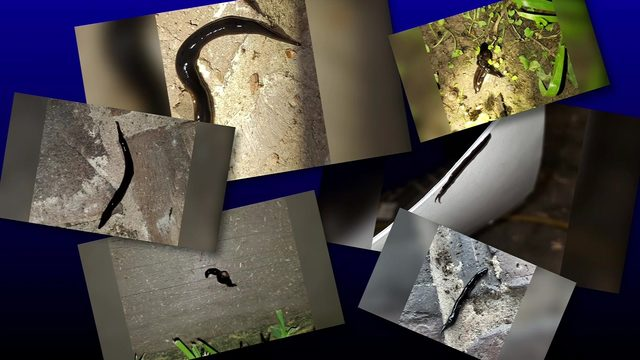 Why an invasive parasitic worm was found in a Pearland family's backyard