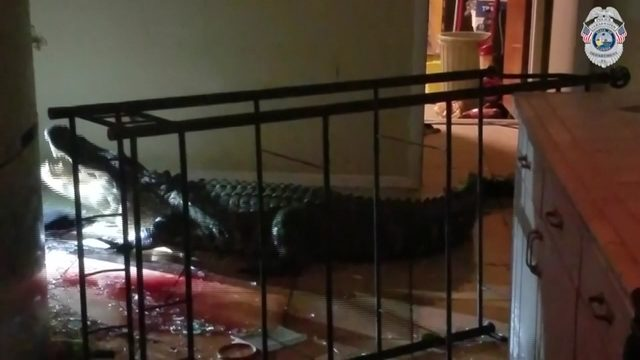 Damage to woman's condo caused by gator not covered by insurance policy