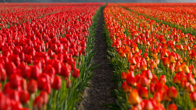 Tiptoe through the tulips in San Antonio next spring