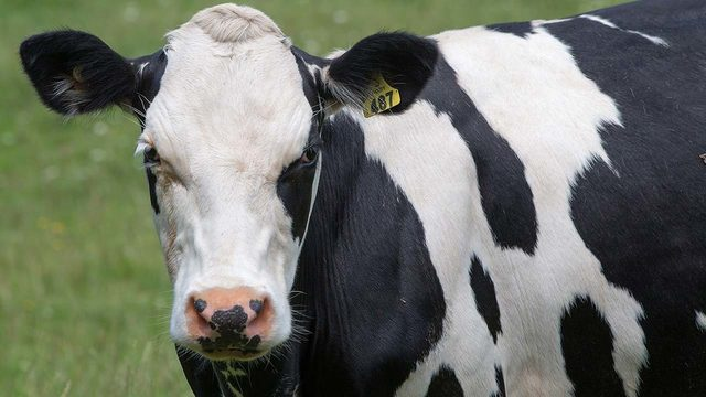 Someone is stealing cattle from a Houston-area pasture, HPD says