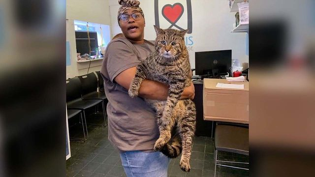 This jumbo, 26-pound cat became a star after an animal shelter said he…