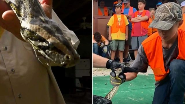 Would you allow your child to hunt a python? Florida trains young snake hunters