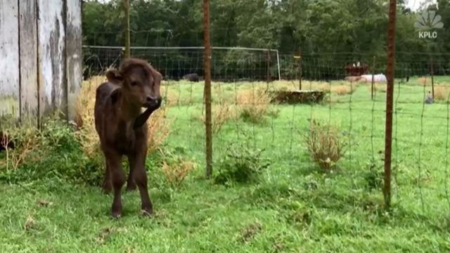 Five-legged calf finds home at Louisiana farm
