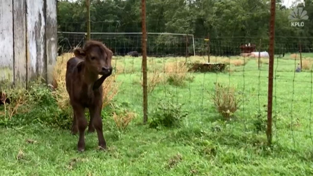 'Every day she surprises us': Five-legged calf finds home at Louisiana farm