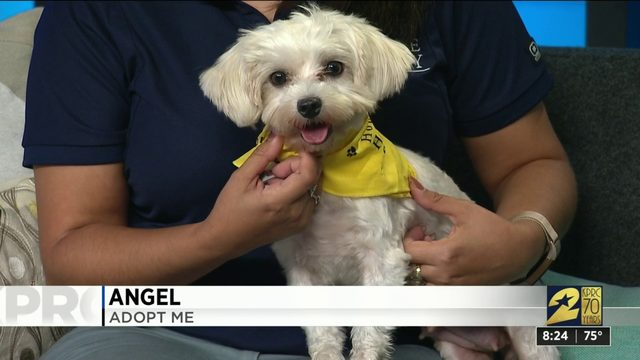 Angel up for adoption at Houstn Humane Society