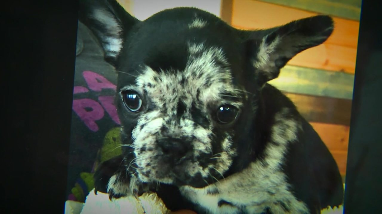 Man caught on camera stealing French bulldog puppy during