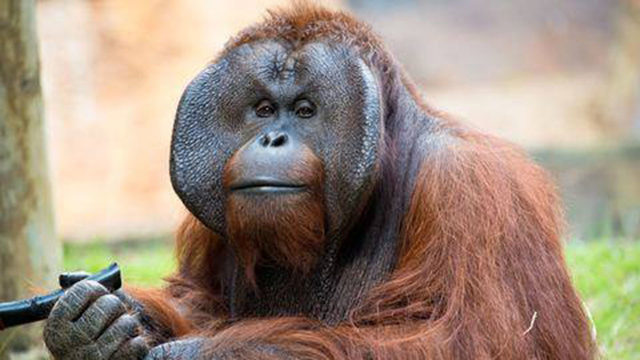 Houston Zoo orangutan named Pumpkin dies of heart failure
