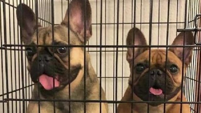 2 French bulldogs stolen from Stafford breeder's home