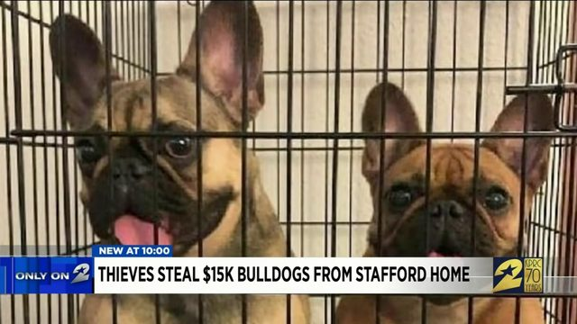 Thieves steal $15K bulldogs from Stafford home