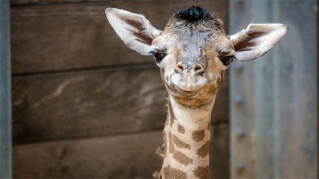 Houston Zoo introduces newborn giraffe