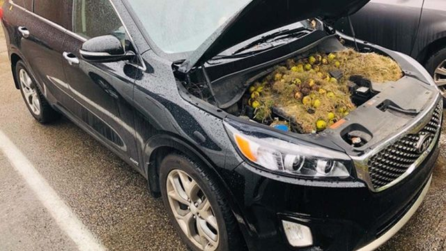 This is nuts! Squirrels stash hundreds of walnuts under car hood