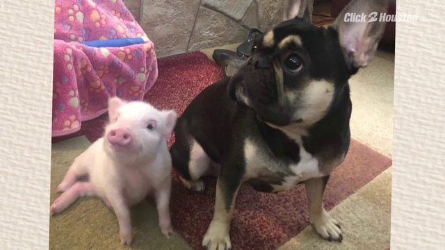 Harris County Sheriff's Office sergeant rescues puppies and piglet