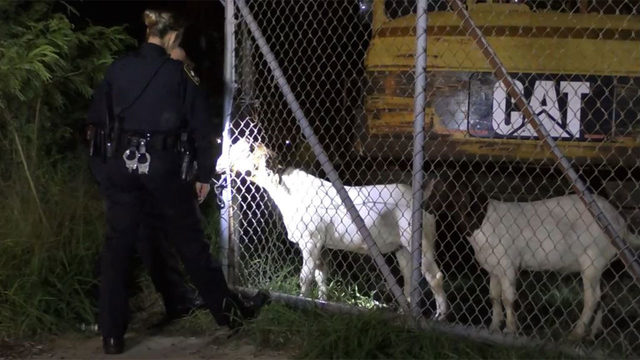 Galveston goats on the lam bite officer, charged with 'intent to graze' and more
