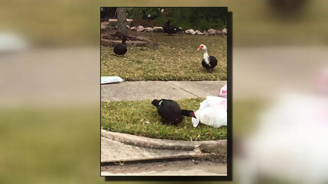 Menacing Ducks