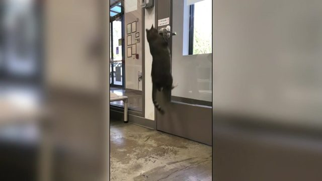 Meet Quilty: The Houston shelter cat that won't be contained